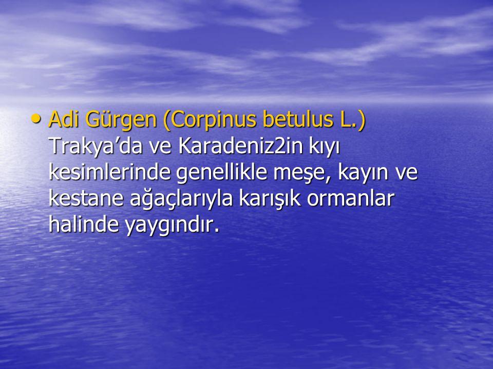 Adi Gürgen (Corpinus betulus L