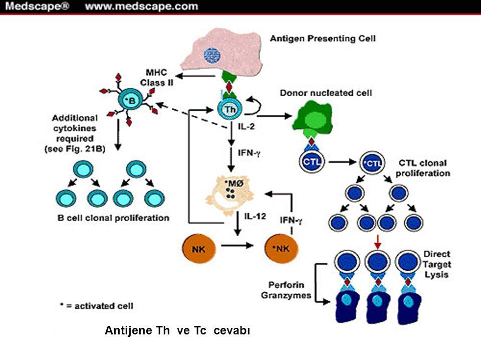 Antijene Th ve Tc cevabı