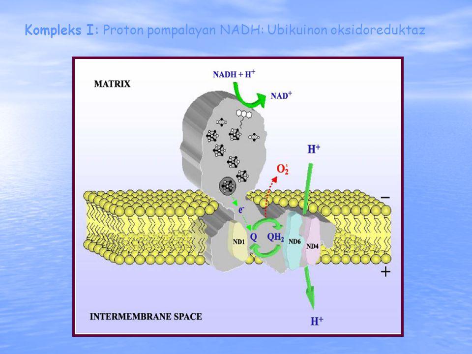 Kompleks I: Proton pompalayan NADH: Ubikuinon oksidoreduktaz