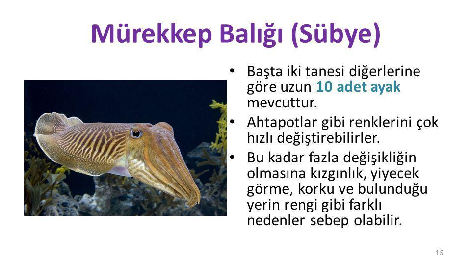 Mürekkep Balığı (Sübye)