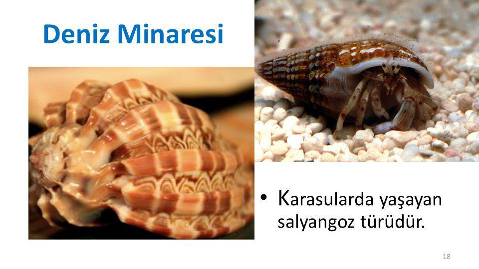 Deniz Minaresi Karasularda yaşayan salyangoz türüdür.