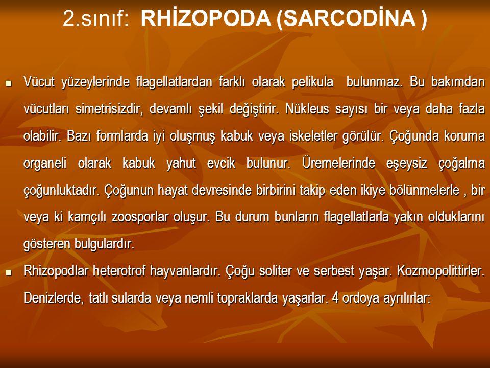 2.sınıf: RHİZOPODA (SARCODİNA )