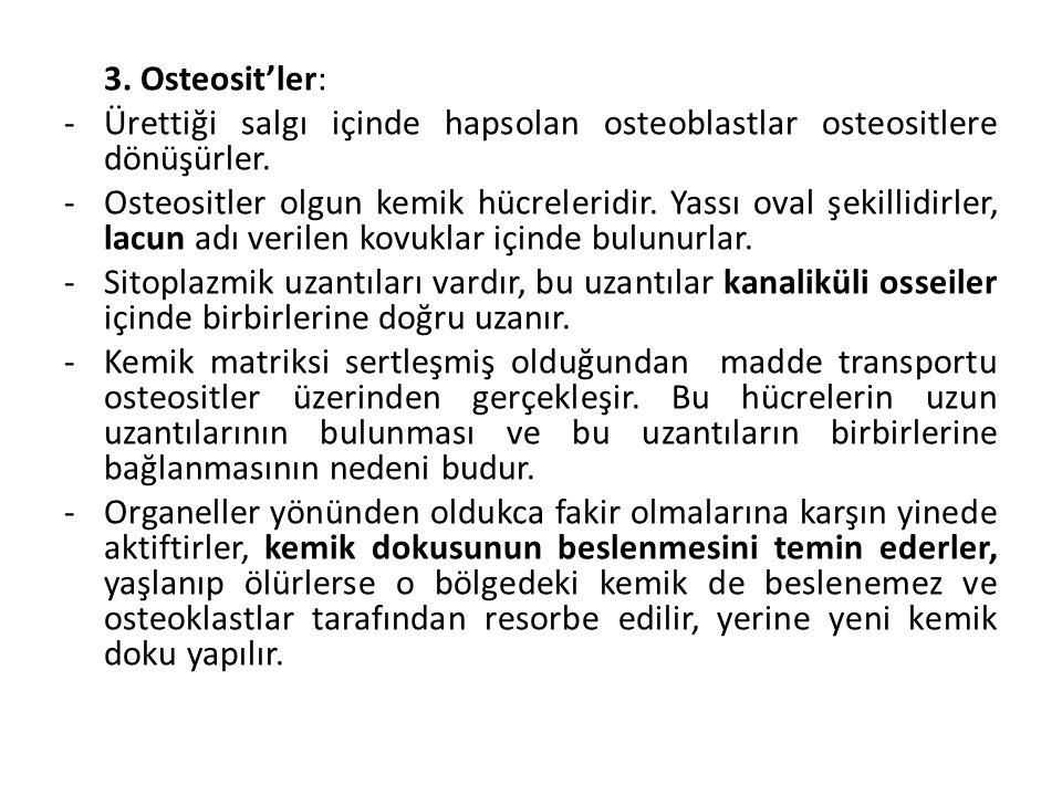 3. Osteosit'ler: Ürettiği salgı içinde hapsolan osteoblastlar osteositlere dönüşürler.