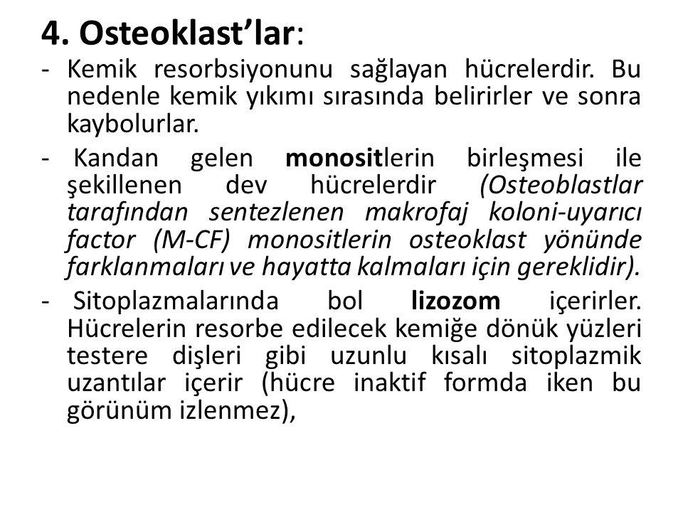 4. Osteoklast'lar: Kemik resorbsiyonunu sağlayan hücrelerdir. Bu nedenle kemik yıkımı sırasında belirirler ve sonra kaybolurlar.