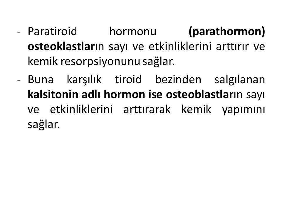 Paratiroid hormonu (parathormon) osteoklastların sayı ve etkinliklerini arttırır ve kemik resorpsiyonunu sağlar.