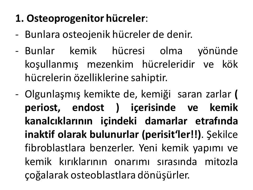 1. Osteoprogenitor hücreler: