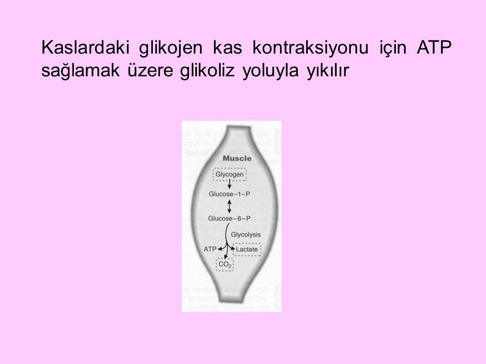 Kaslardaki glikojen kas kontraksiyonu için ATP sağlamak üzere glikoliz yoluyla yıkılır