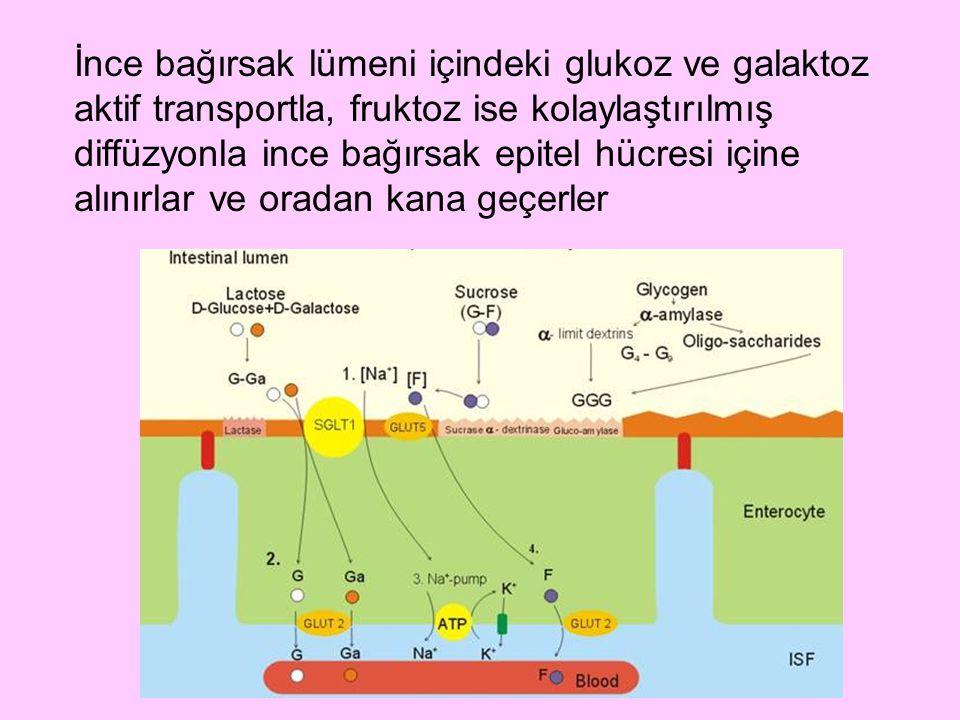 İnce bağırsak lümeni içindeki glukoz ve galaktoz aktif transportla, fruktoz ise kolaylaştırılmış diffüzyonla ince bağırsak epitel hücresi içine alınırlar ve oradan kana geçerler