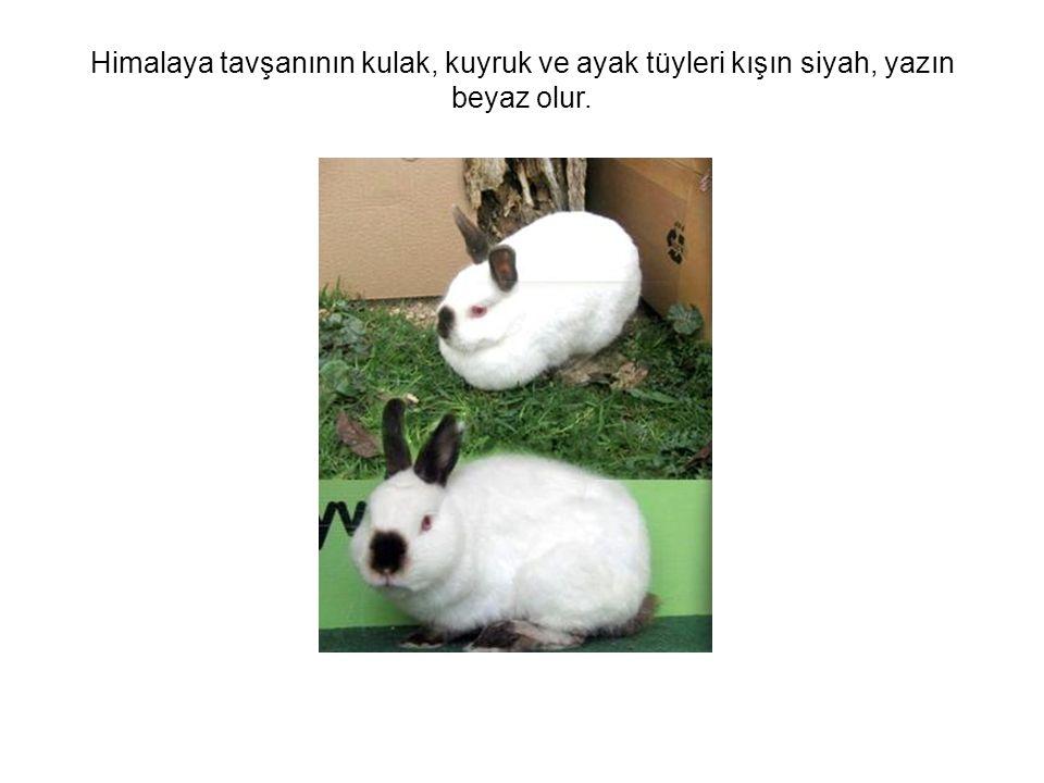 Himalaya tavşanının kulak, kuyruk ve ayak tüyleri kışın siyah, yazın beyaz olur.