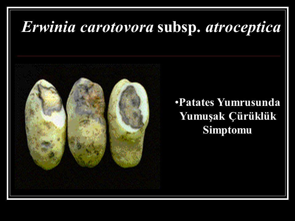 Erwinia carotovora subsp. atroceptica