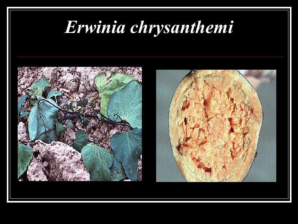Erwinia chrysanthemi