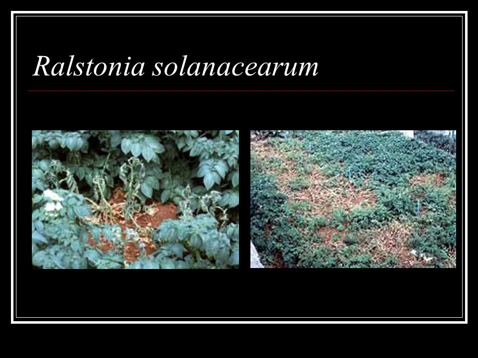 Ralstonia solanacearum