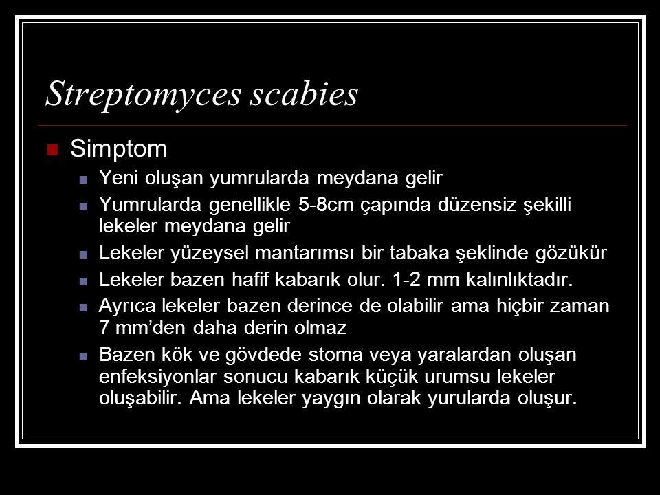 Streptomyces scabies Simptom Yeni oluşan yumrularda meydana gelir