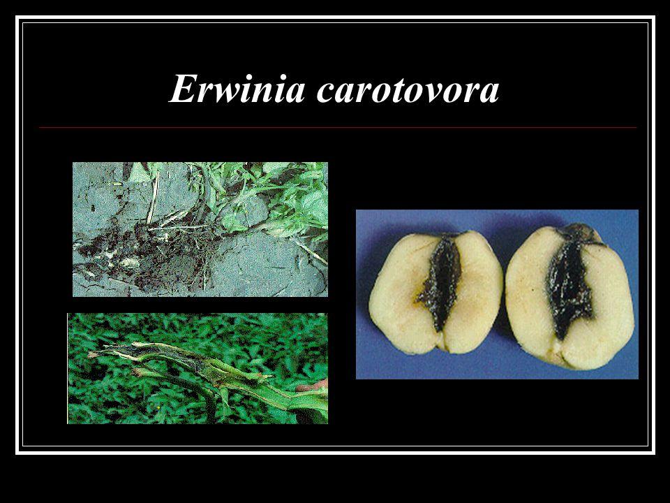 Erwinia carotovora