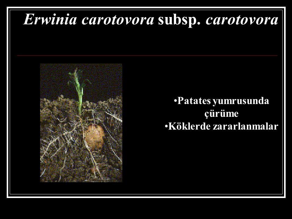 Erwinia carotovora subsp. carotovora
