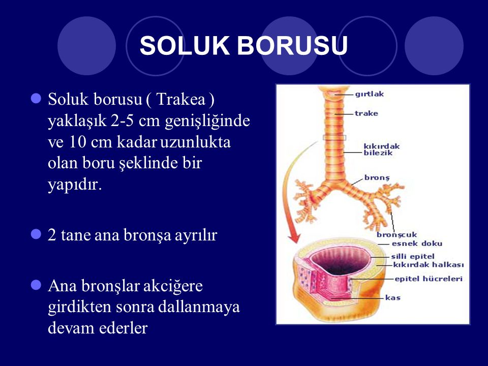 SOLUK BORUSU Soluk borusu ( Trakea ) yaklaşık 2-5 cm genişliğinde ve 10 cm kadar uzunlukta olan boru şeklinde bir yapıdır.