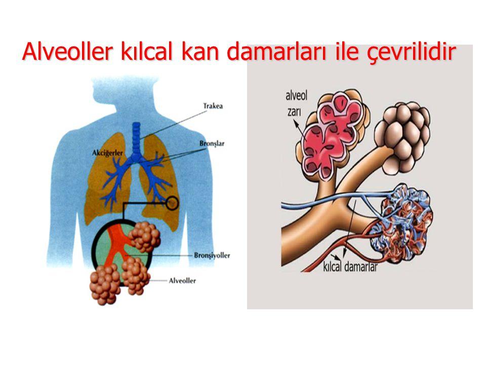 Alveoller kılcal kan damarları ile çevrilidir