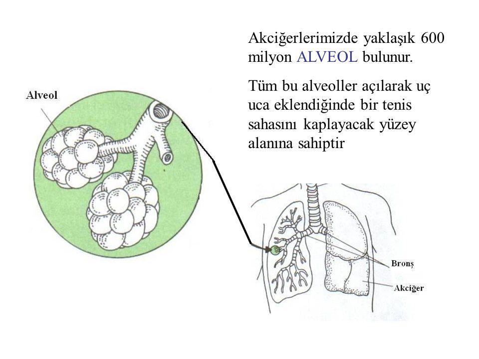 Akciğerlerimizde yaklaşık 600 milyon ALVEOL bulunur.