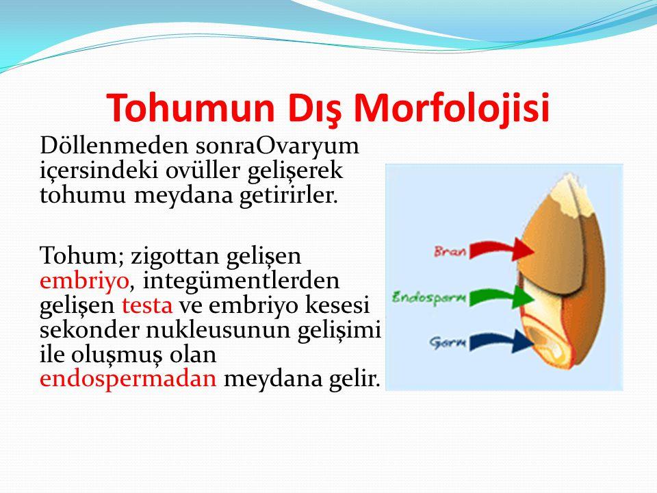 Tohumun Dış Morfolojisi