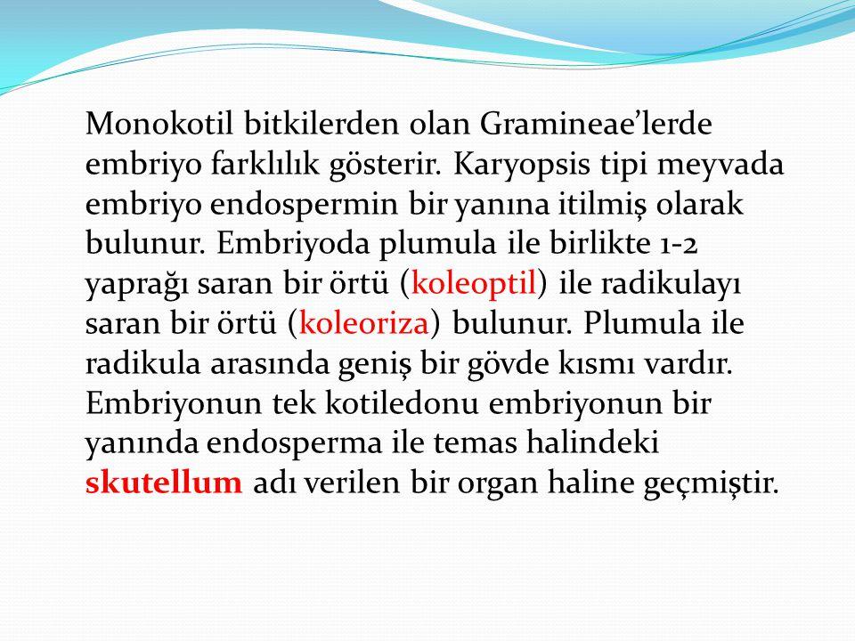 Monokotil bitkilerden olan Gramineae'lerde embriyo farklılık gösterir
