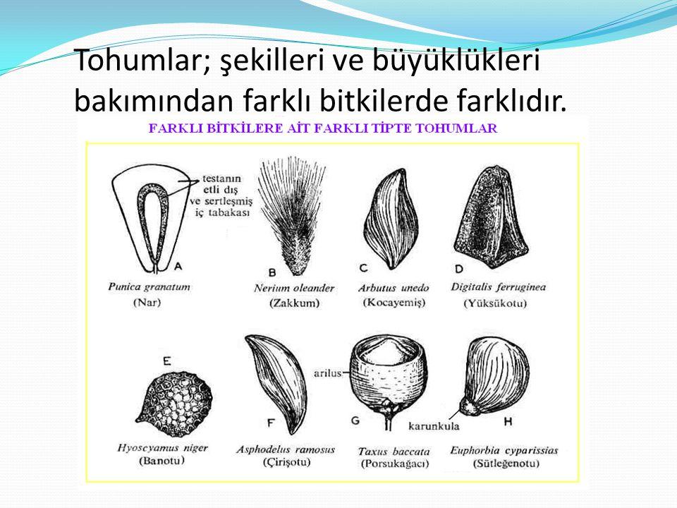 Tohumlar; şekilleri ve büyüklükleri bakımından farklı bitkilerde farklıdır.