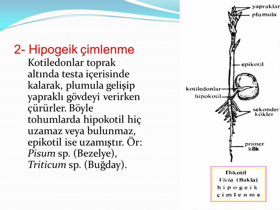 2- Hipogeik çimlenme