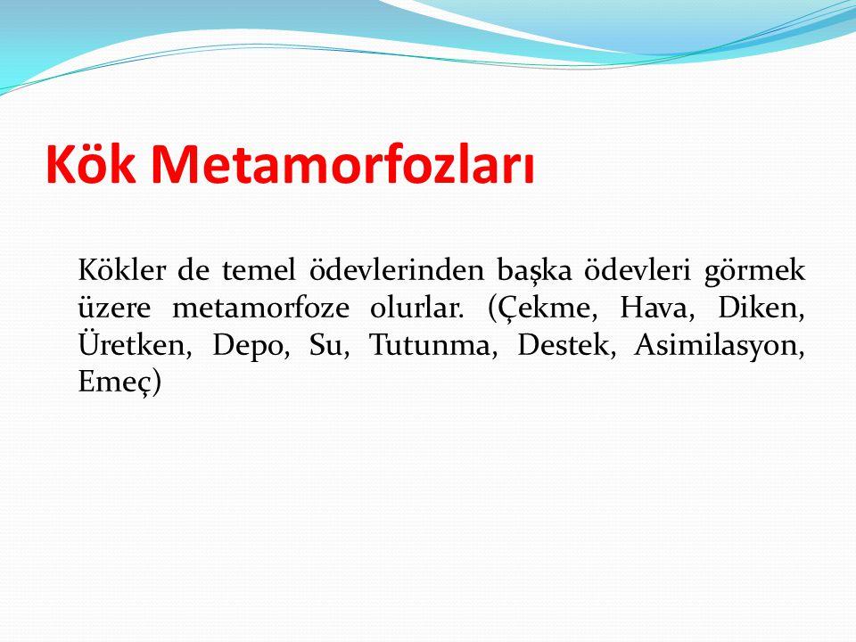 Kök Metamorfozları