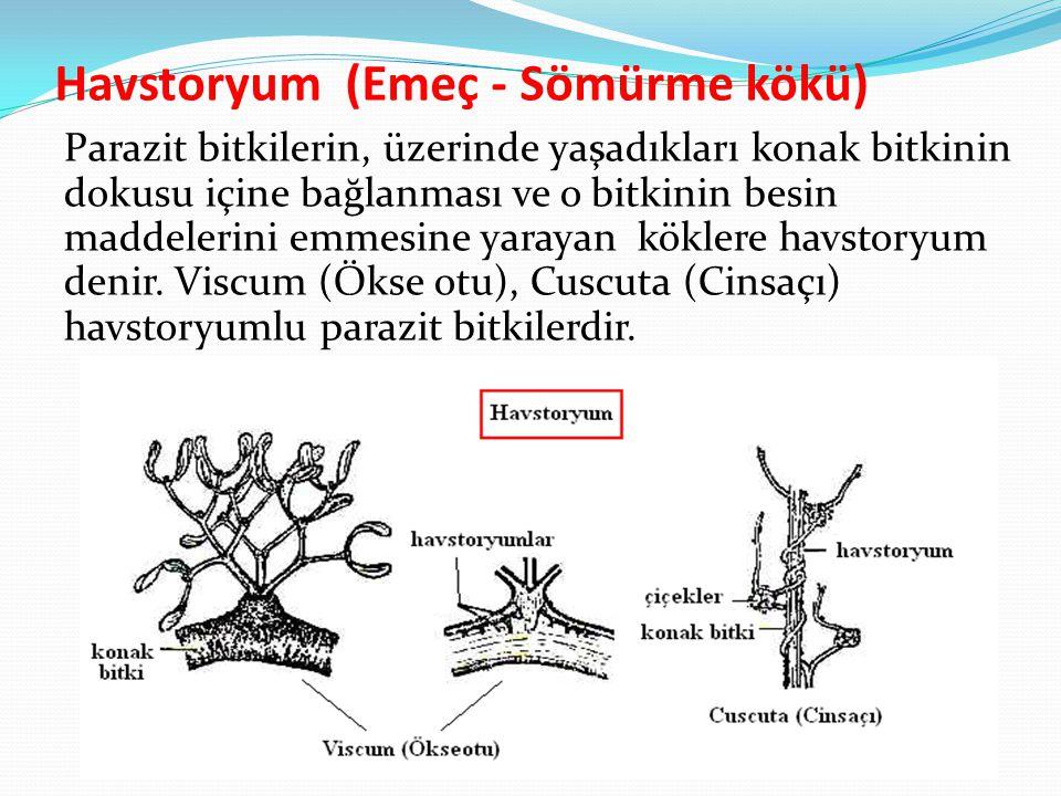 Havstoryum (Emeç - Sömürme kökü)