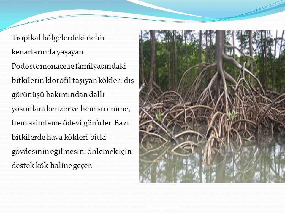 Tropikal bölgelerdeki nehir kenarlarında yaşayan Podostomonaceae familyasındaki bitkilerin klorofil taşıyan kökleri dış görünüşü bakımından dallı yosunlara benzer ve hem su emme, hem asimleme ödevi görürler. Bazı bitkilerde hava kökleri bitki gövdesinin eğilmesini önlemek için destek kök haline geçer.