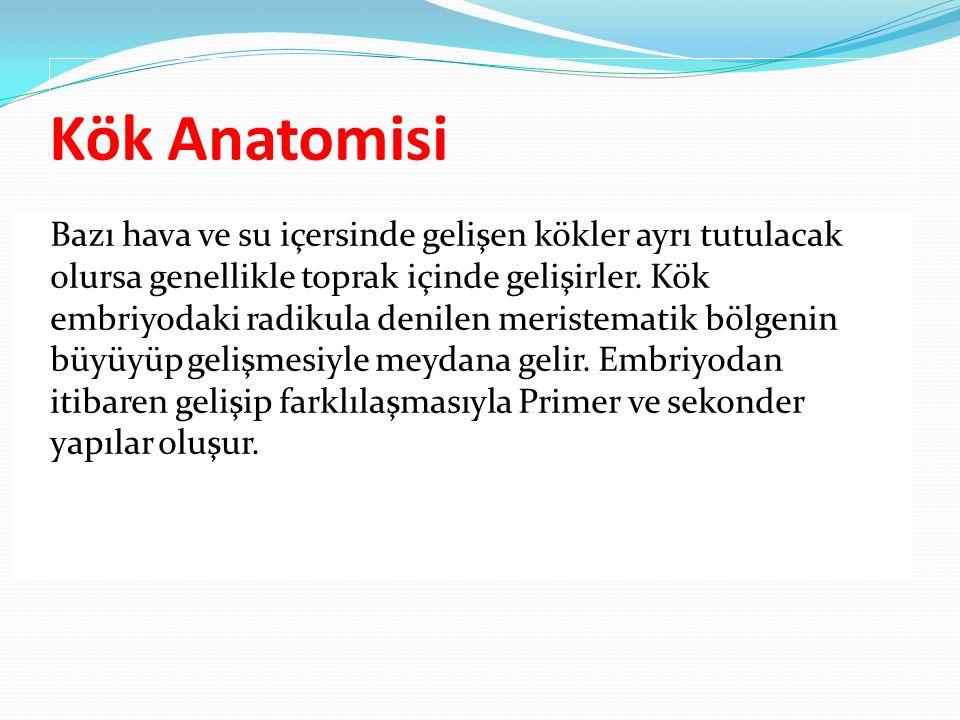 Kök Anatomisi