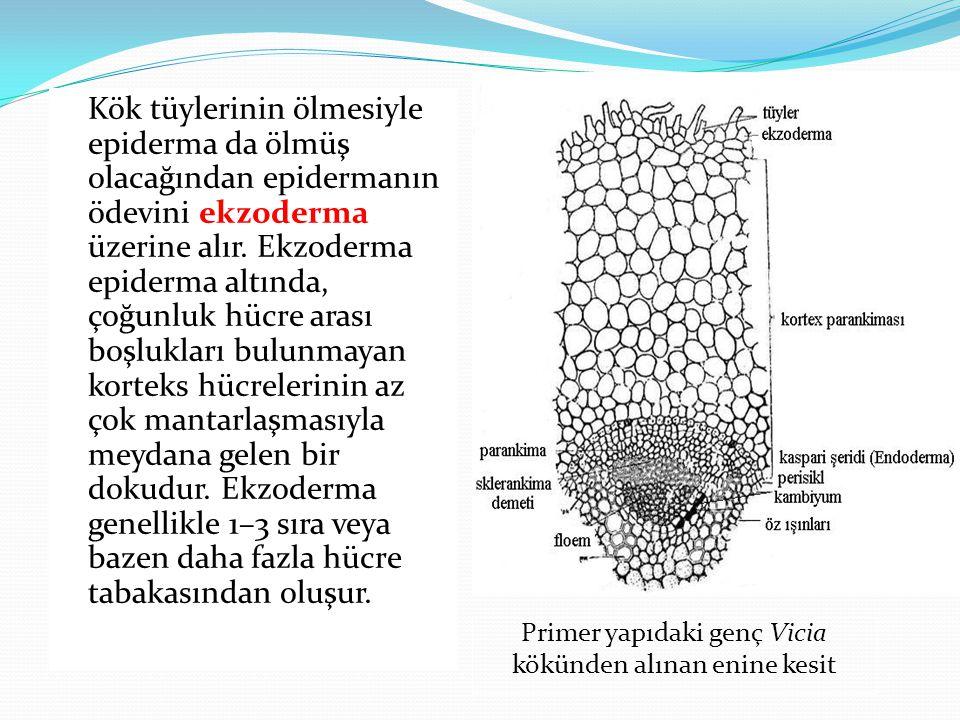 Kök tüylerinin ölmesiyle epiderma da ölmüş olacağından epidermanın ödevini ekzoderma üzerine alır. Ekzoderma epiderma altında, çoğunluk hücre arası boşlukları bulunmayan korteks hücrelerinin az çok mantarlaşmasıyla meydana gelen bir dokudur. Ekzoderma genellikle 1–3 sıra veya bazen daha fazla hücre tabakasından oluşur.