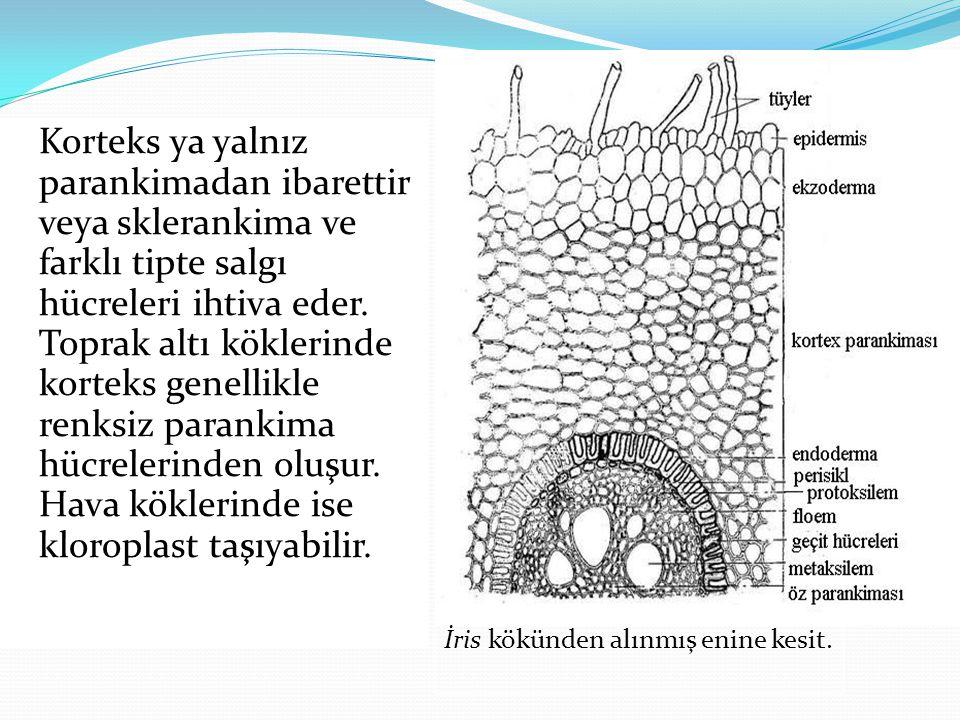 Korteks ya yalnız parankimadan ibarettir veya sklerankima ve farklı tipte salgı hücreleri ihtiva eder. Toprak altı köklerinde korteks genellikle renksiz parankima hücrelerinden oluşur. Hava köklerinde ise kloroplast taşıyabilir.