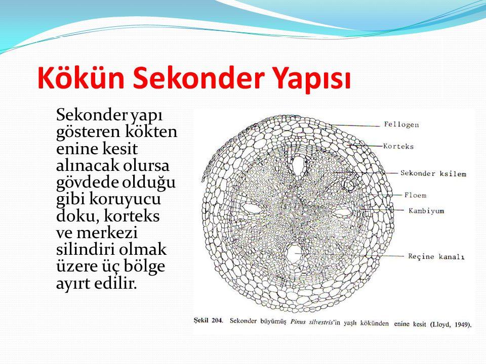 Kökün Sekonder Yapısı