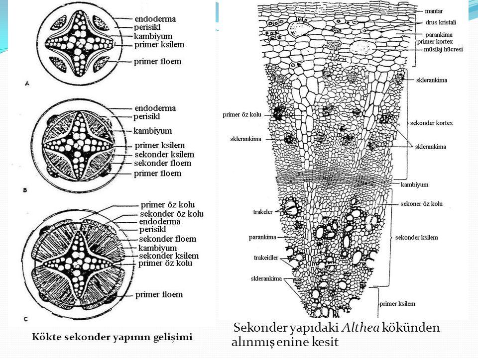 Sekonder yapıdaki Althea kökünden alınmış enine kesit