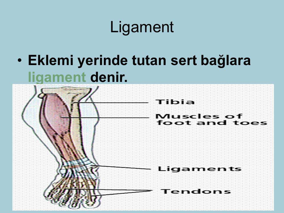 Ligament Eklemi yerinde tutan sert bağlara ligament denir. 27 26 27