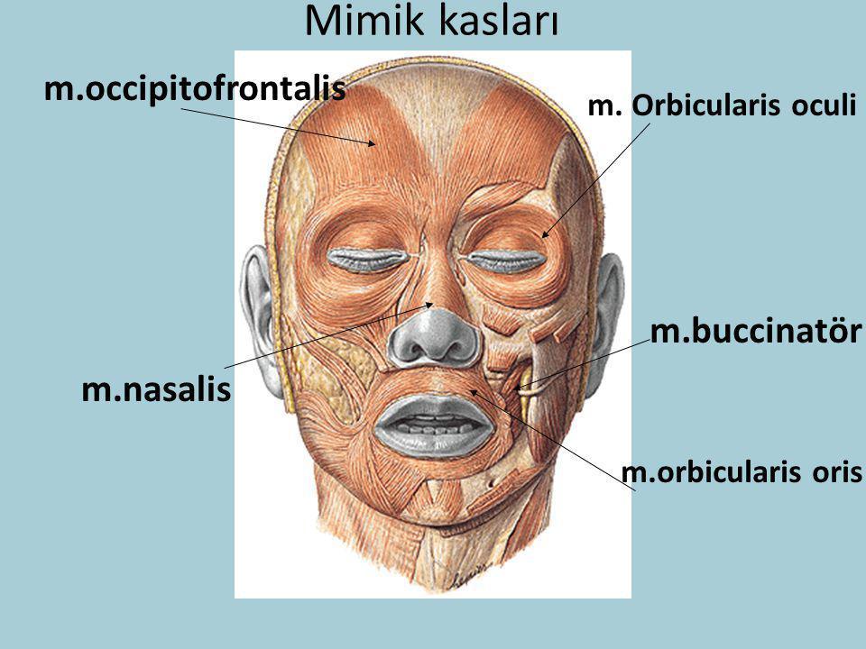 Mimik kasları m.occipitofrontalis m.buccinatör m.nasalis