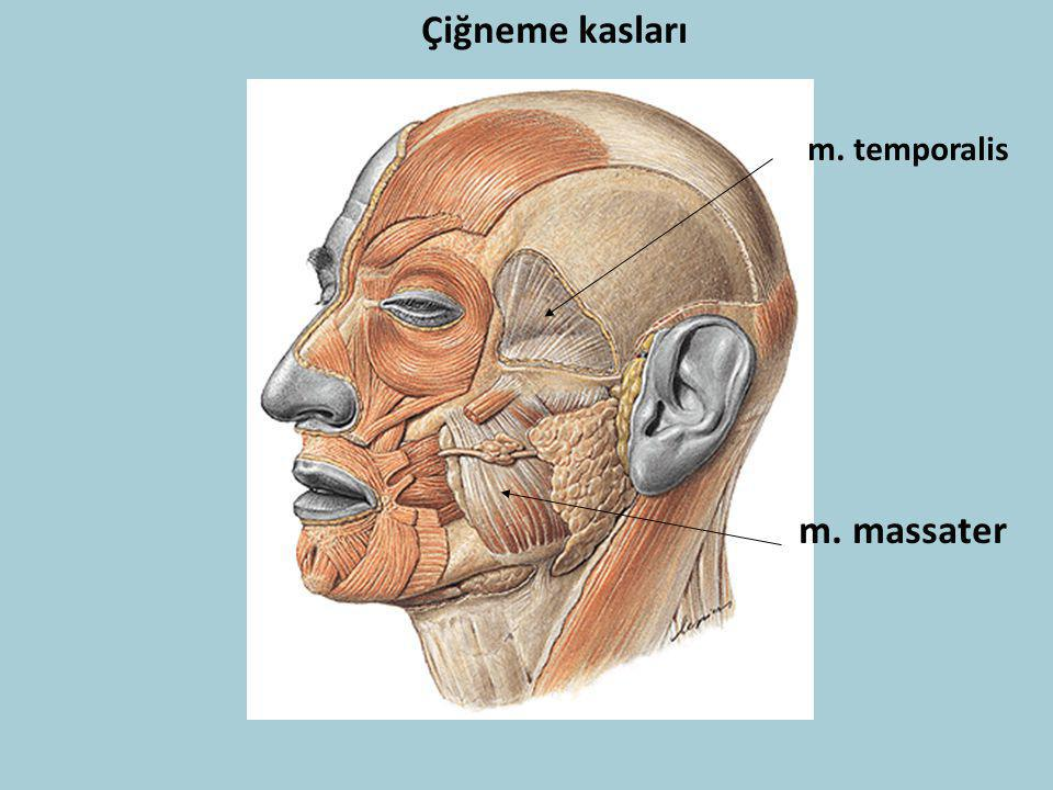 Çiğneme kasları m. temporalis m. massater