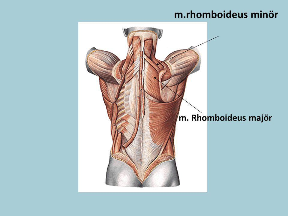 m.rhomboideus minör m. Rhomboideus majör
