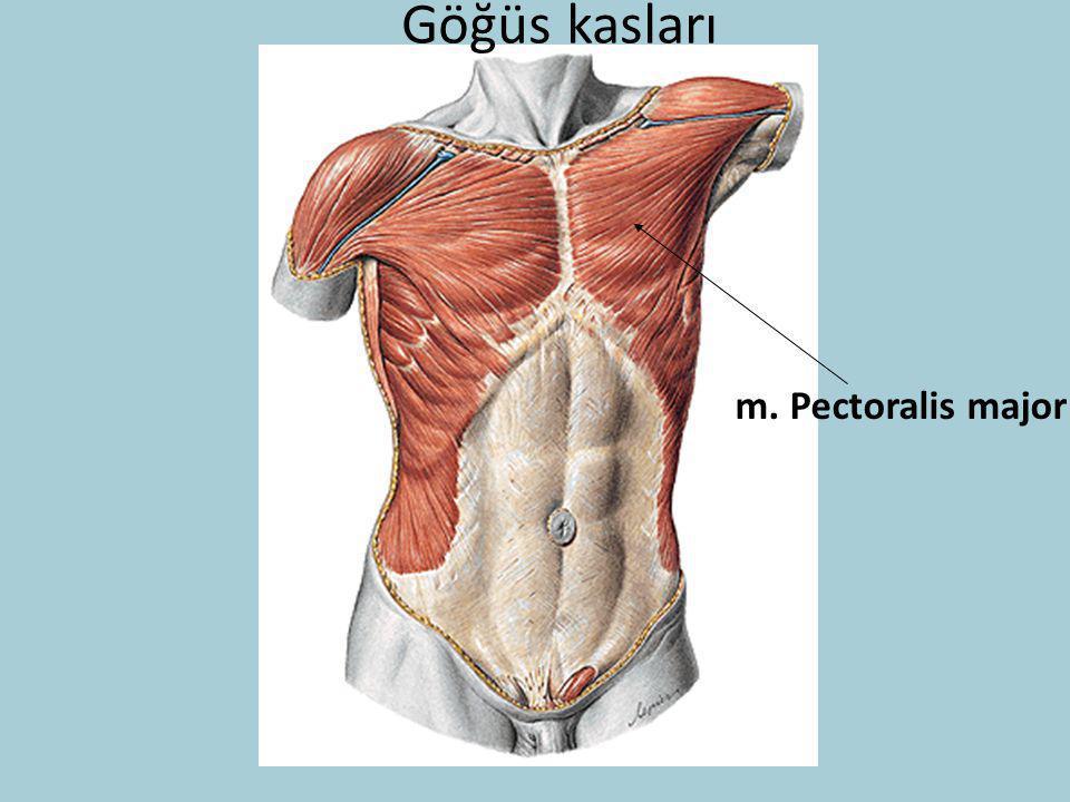 Göğüs kasları m. Pectoralis major
