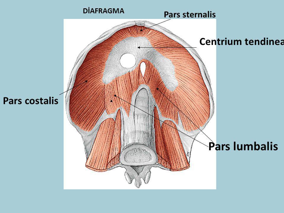 DİAFRAGMA Pars sternalis Centrium tendinea Pars costalis Pars lumbalis