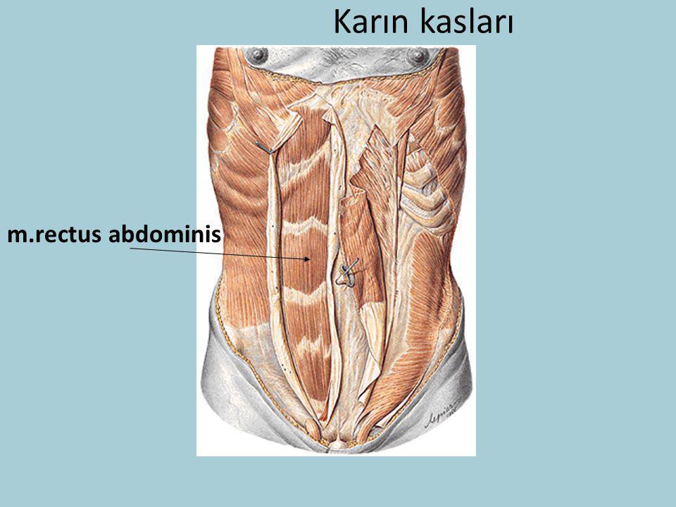 Karın kasları m.rectus abdominis