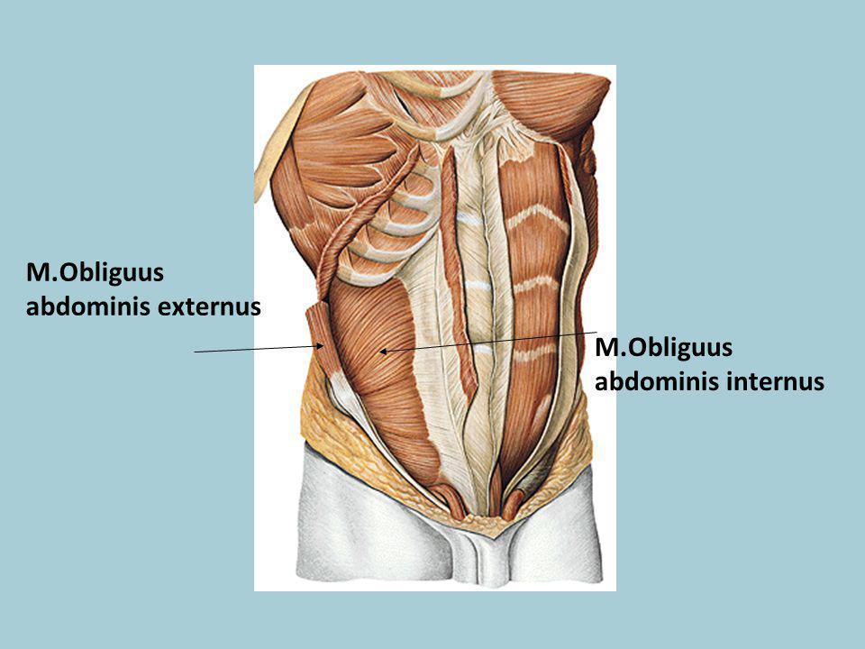 M.Obliguus abdominis externus M.Obliguus abdominis internus