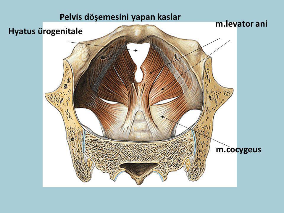 Pelvis döşemesini yapan kaslar