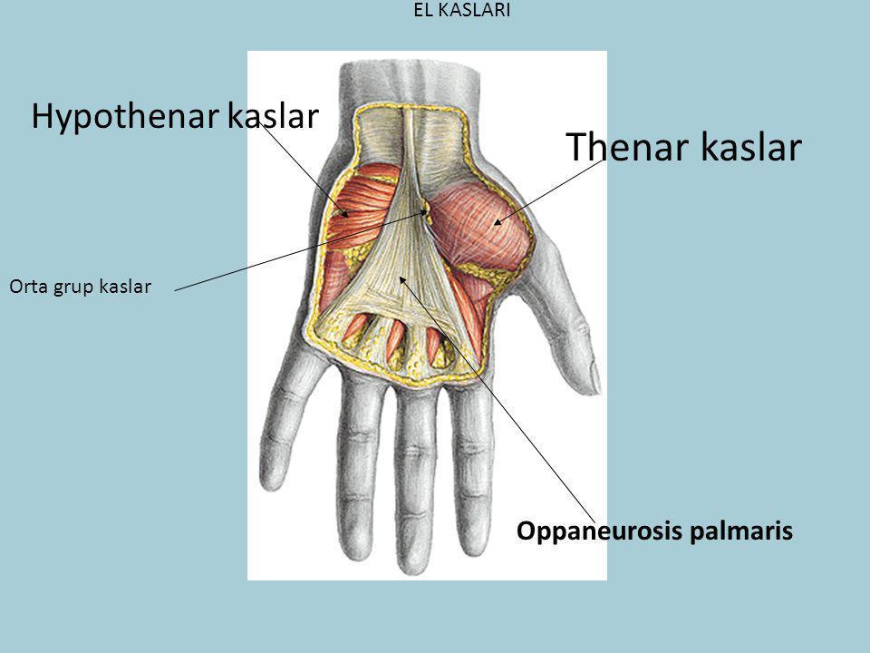 Thenar kaslar Hypothenar kaslar Oppaneurosis palmaris EL KASLARI