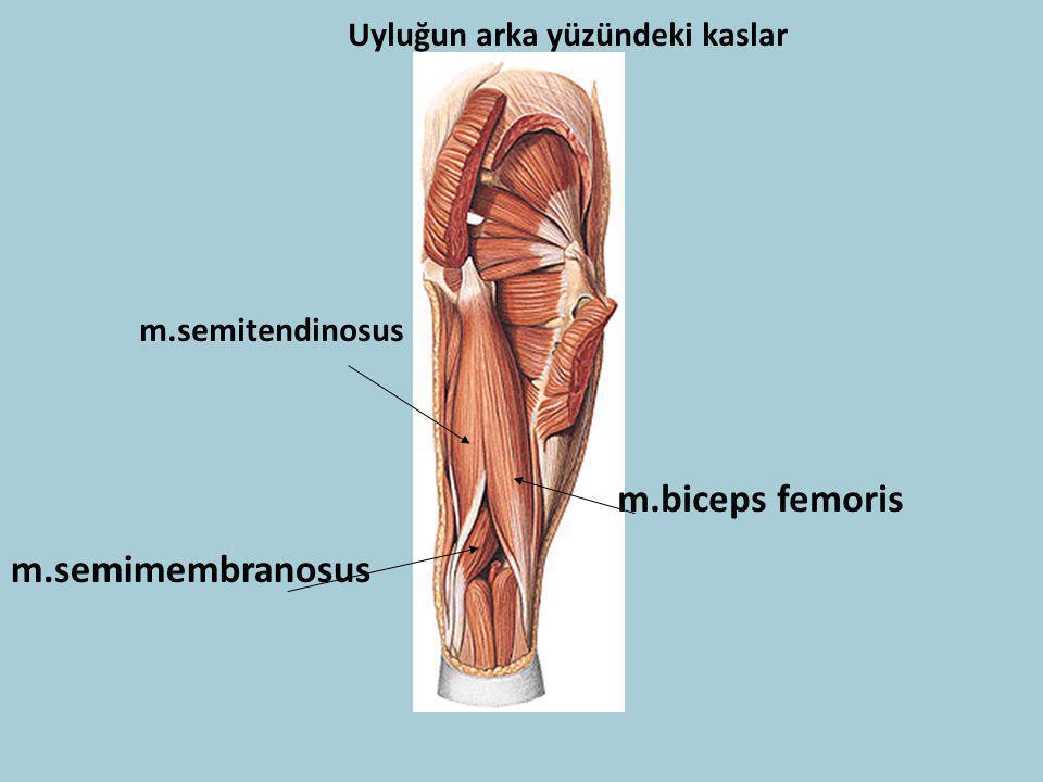 m.biceps femoris m.semimembranosus Uyluğun arka yüzündeki kaslar
