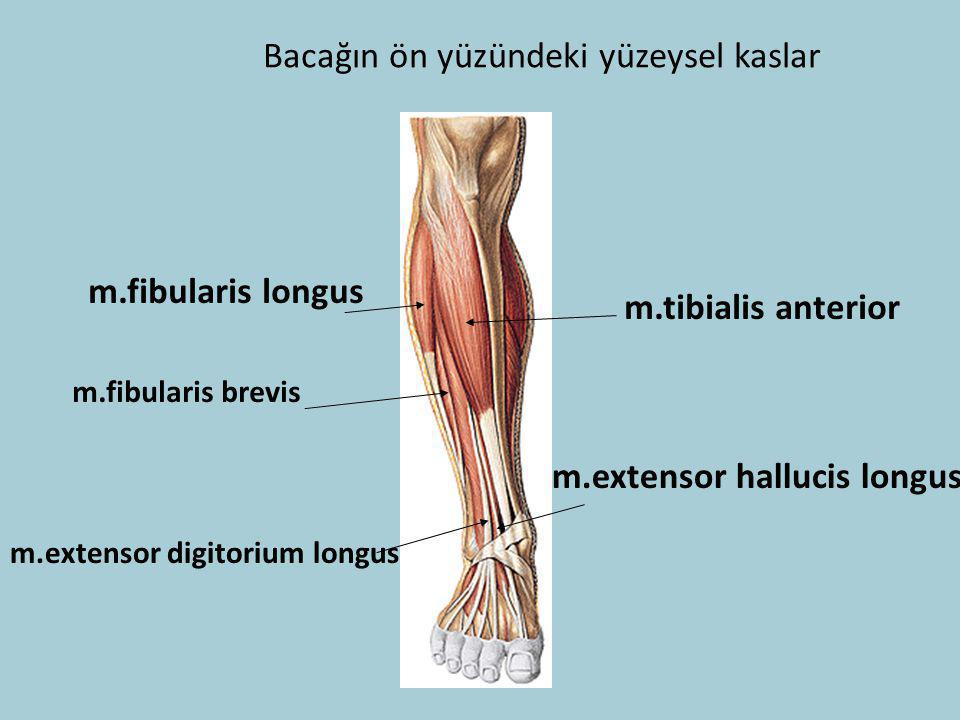 Bacağın ön yüzündeki yüzeysel kaslar
