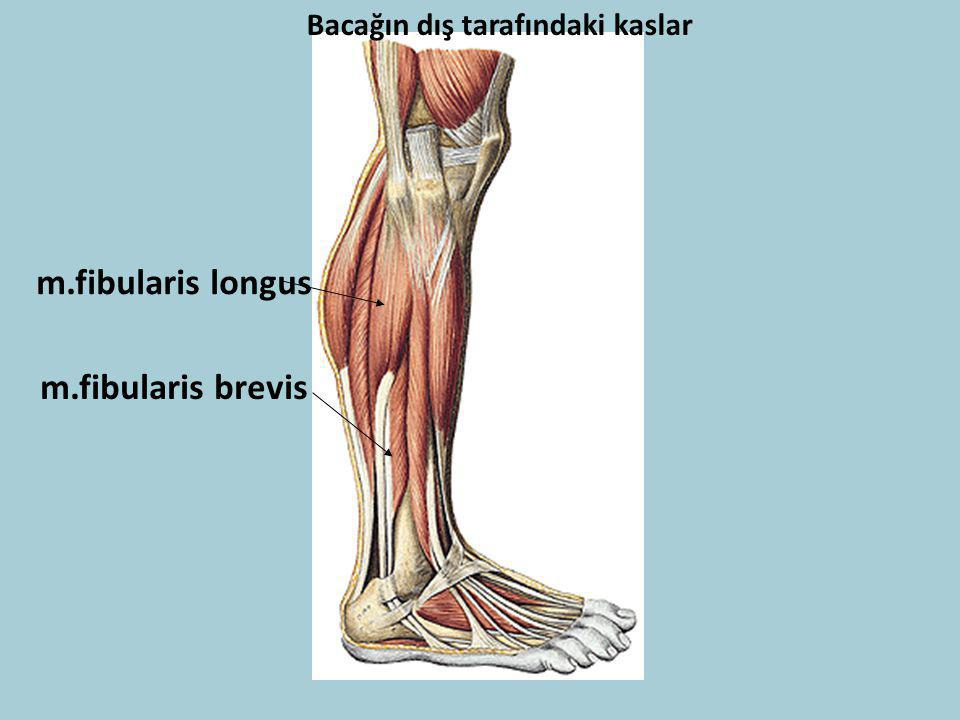 Bacağın dış tarafındaki kaslar