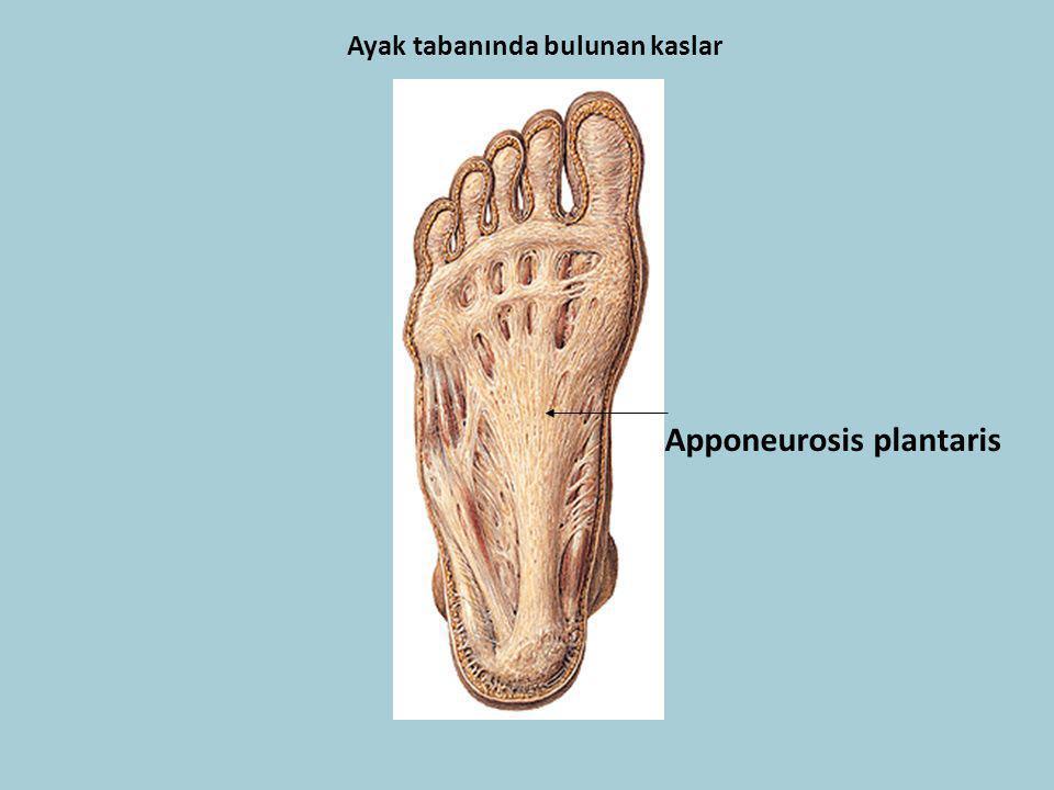 Apponeurosis plantaris