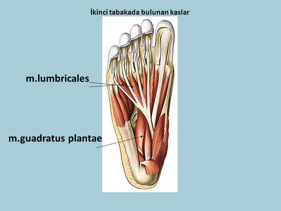 İkinci tabakada bulunan kaslar