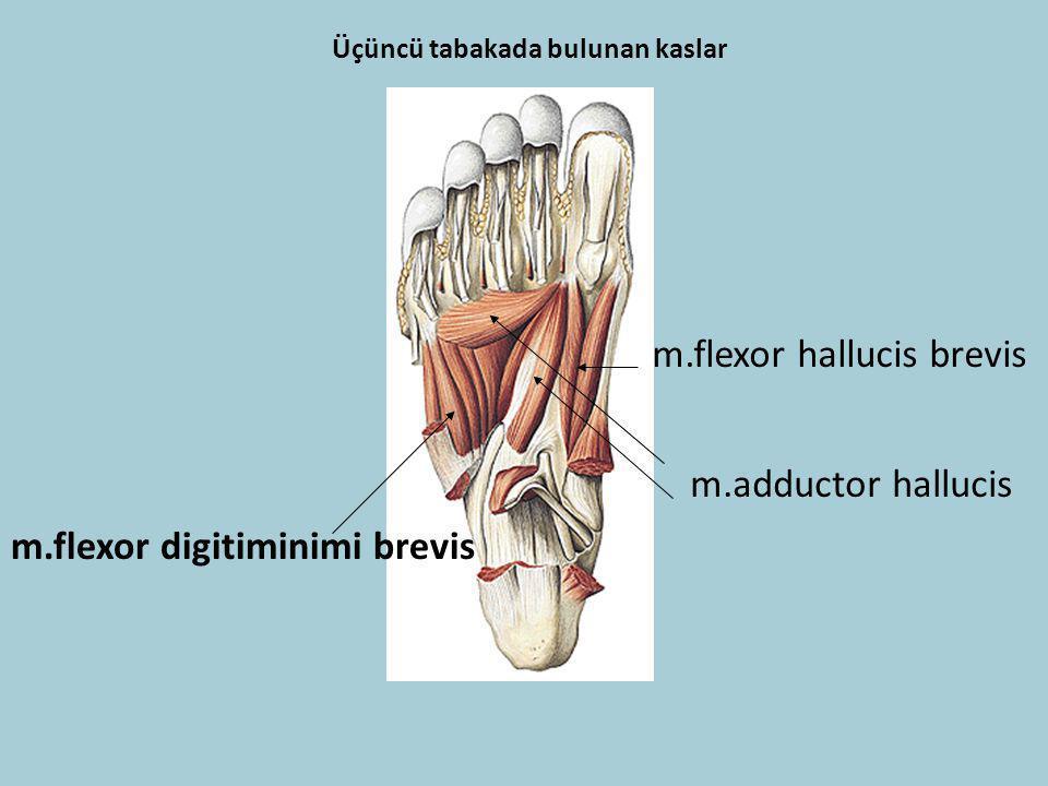 Üçüncü tabakada bulunan kaslar